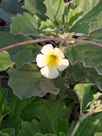 Pedalium murex